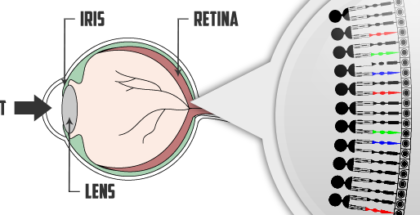 Onderdelen oog